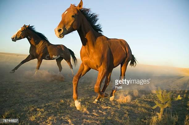 Quarter Horses Running in Field