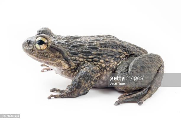 Quasipaa fasciculispina - Chantaburi Spiny-breasted Frog