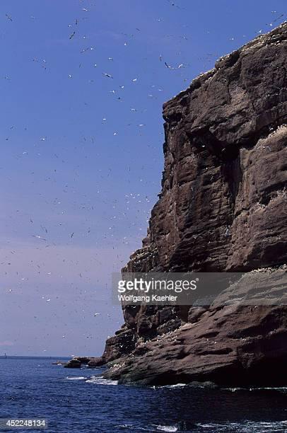 Quebec Gaspe Bonaventure Islandgannets Murres And Blacklegged Kittiwakes In Cliff
