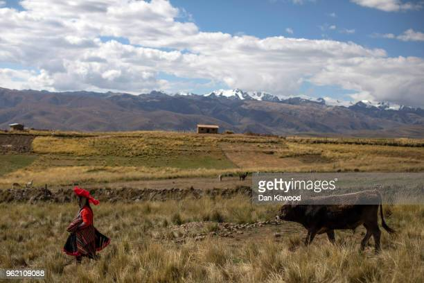 Quechua women leads cattle through to new pasture on May 23, 2018 in Tinki, Peru. Cows are used to provide milk in the almost exclusively self...