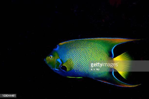 queen angel - poissons exotiques photos et images de collection