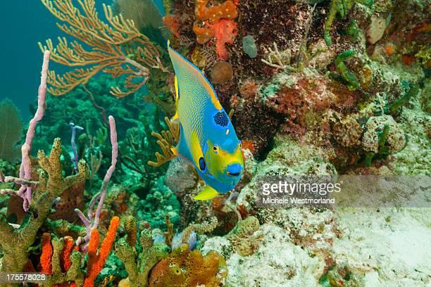 Queen Angelfish and Reef