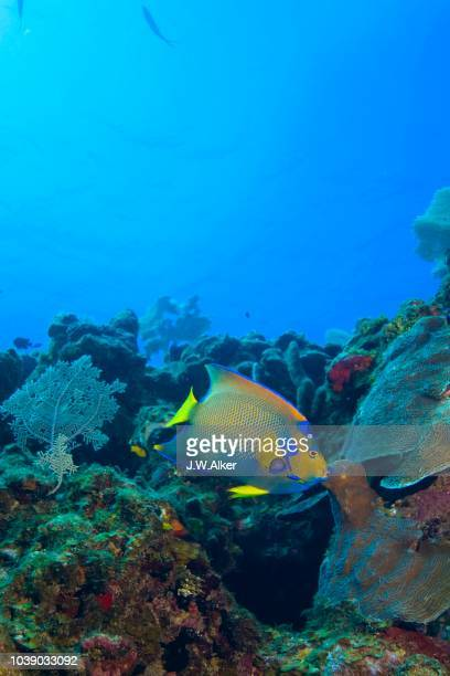 queen angelfish (holacanthus ciliaris), honduras, caribbean - vista lateral stock pictures, royalty-free photos & images