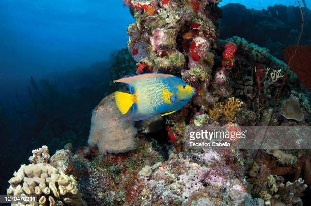 queen angelfish, klein bonaire - klein stock pictures, royalty-free photos & images