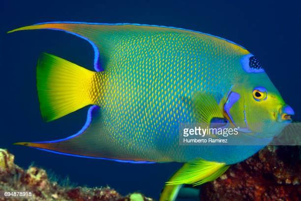 Queen Angelfish.