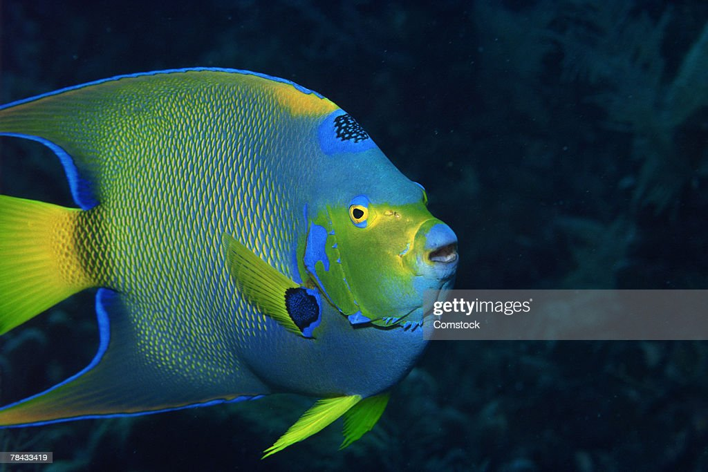 Queen angelfish : Stockfoto