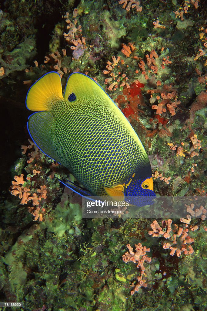 Queen angelfish : Foto de stock