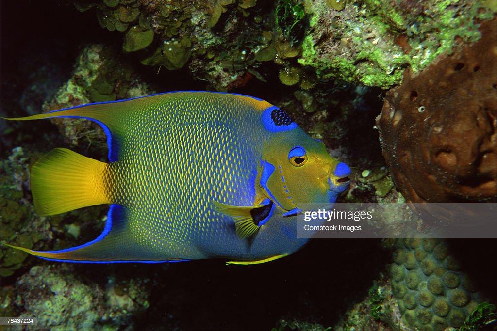 Queen Angelfish : Stockfoto
