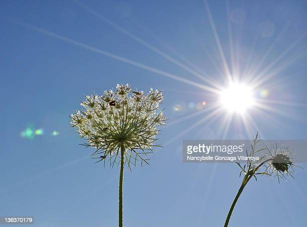 queen annes lace flower against sun - nancybelle villarroya stock photos and pictures