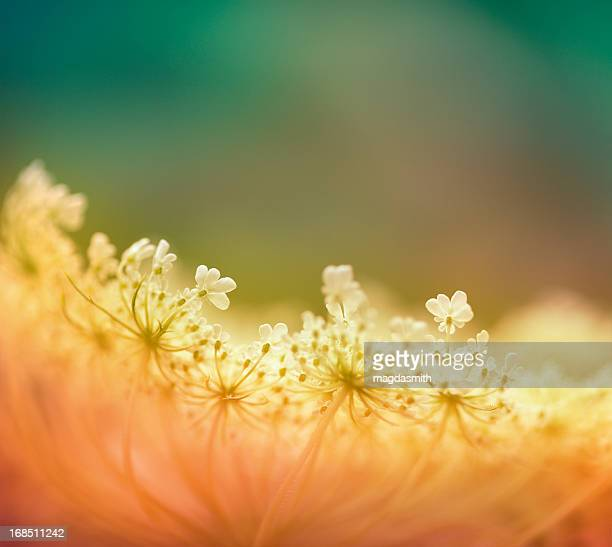 queen anne's lace flowers in summer - magdasmith stock pictures, royalty-free photos & images