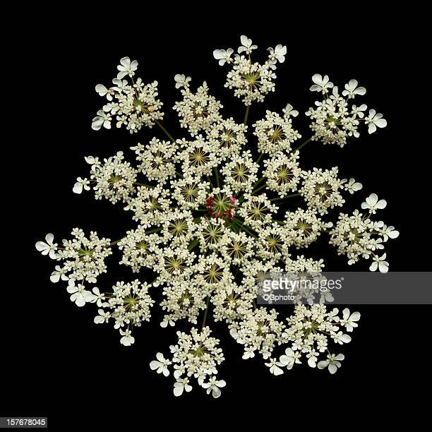 queen anne's lace - ogphoto stock photos and pictures