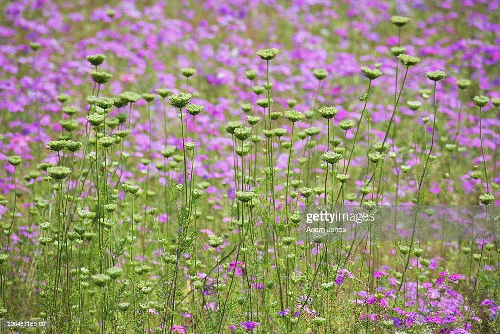 Queen Anne's lace (Daucus carota) starting to flower, spring : Stock Photo