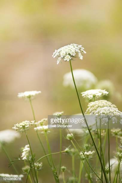 Queen Anne's Lace - Wildflower