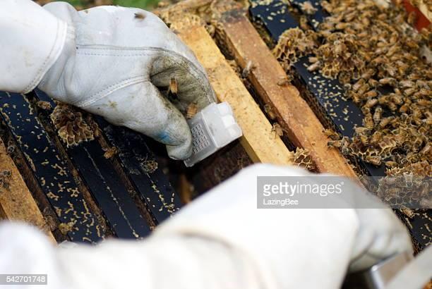 ape regina gabbia viene messo in beehive - ape regina foto e immagini stock
