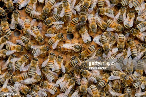 A queen bee can be seen on a honeycomb with bees in downtown Nuremberg Germany 29 March 2016 In 2012 beekeeper Johannes Bermueller began keeping bees...