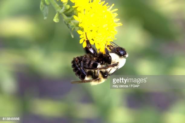 queen bee hanging on yellow flower - ape regina foto e immagini stock