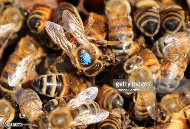 Queen bee is pictured with other bees in a hive at Sweet Bee Honey Farm, in Sorrento on Thursday, May 21, 2020.