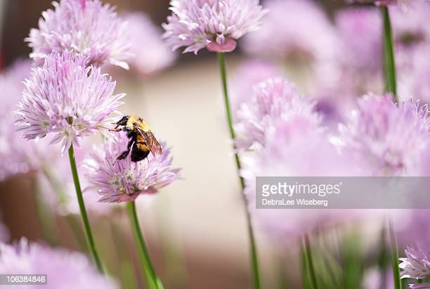 queen bee - queen bee stock pictures, royalty-free photos & images