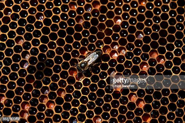 a queen bee walks in a beehive filled with honey and pollen in an apiary of puremiel beekeepers in los alcornocales natural park, cadiz province, andalusia, spain - queen bee stock pictures, royalty-free photos & images