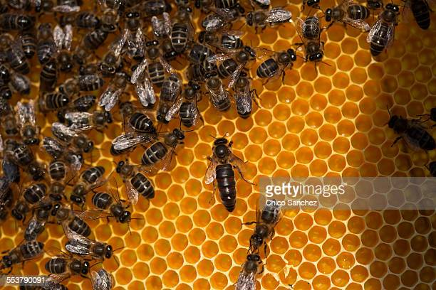 a queen bee walks in the center of a beehive of the apiary of puremiel beekeepers in arcos de la frontera, cadiz province, andalusia, spain - queen bee stock pictures, royalty-free photos & images