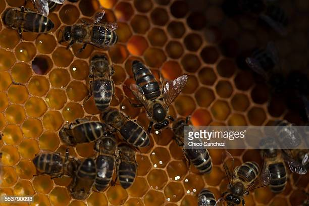 a queen bee walks in the center of a beehive of the apiary of puremiel beekeepers in arcos de la frontera, cadiz province, andalusia, spain - ape regina foto e immagini stock