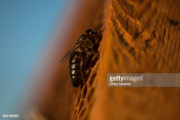 A queen bee walks in the center of a beehive of the apiary of Puremiel beekeepers in Arcos de la Frontera, Cadiz province, Andalusia, Spain