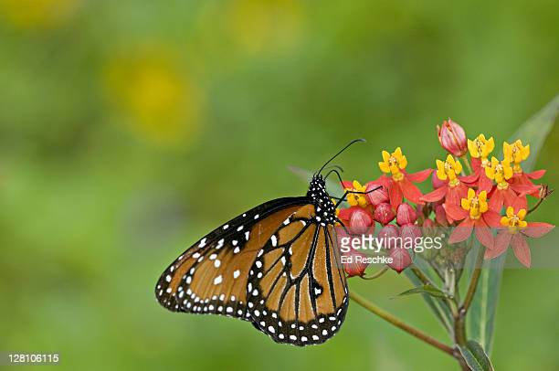 Queen Butterfly, Danaus gilippus berenice, nectaring on Bloodflower, Fort Myers, Florida, USA. Distasteful to predators. Mullerian mimicry.