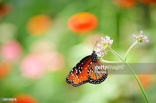 queen butterfly  (danaus gilippus)  on a pink flower - ogphoto stock pictures, royalty-free photos & images