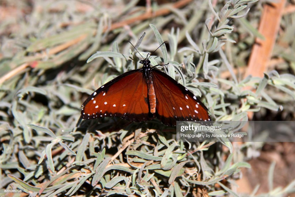 Queen butterfly. : Stock Photo