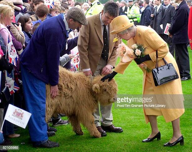 Queen Elizabeth II Petting A Highland Calf During Her Visit To Duthie Park, As Part Of Her Continuing Golden Jubilee Tour.