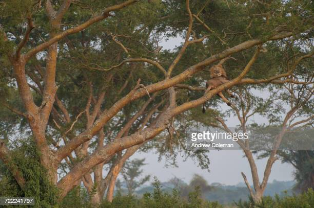 """A male lion, Panthera Leo, resting in a tree."""