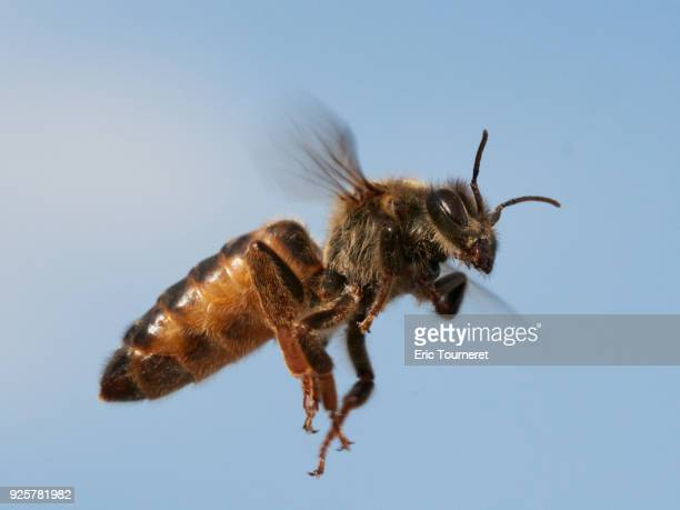 queen honey bee flying during the mating fly - queen bee stock pictures, royalty-free photos & images