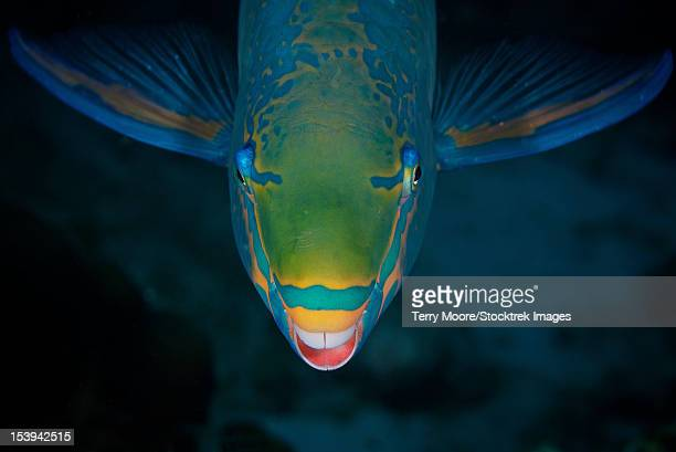 Queen Parrotfish feeding on algae, Bonaire, Caribbean Netherlands.