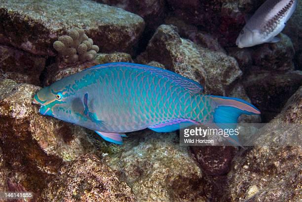 Queen parrotfish feeding on coral, Scarus vetula, Curacao, Netherlands Antilles,