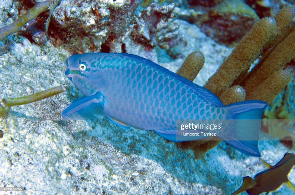 Queen Parrotfish (terminal phase) : Stock Photo