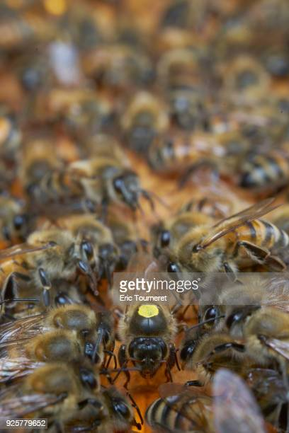 a queen with honey bees - queen bee stock pictures, royalty-free photos & images