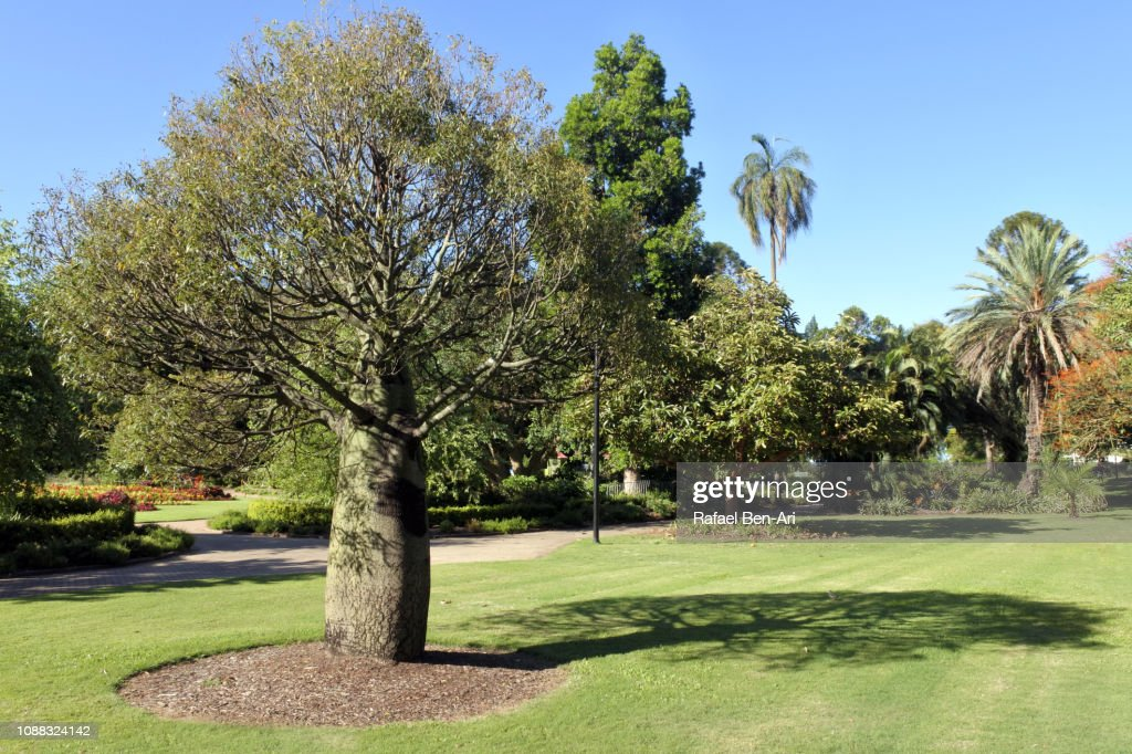 Queensland Bottle Tree in Brisbane Botanic Gardens : Stock Photo