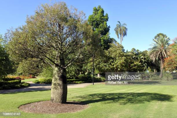Queensland Bottle Tree in Brisbane Botanic Gardens