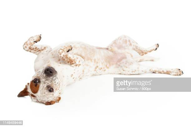 queensland heeler dog laying on back - catahoula leopard dog stock pictures, royalty-free photos & images