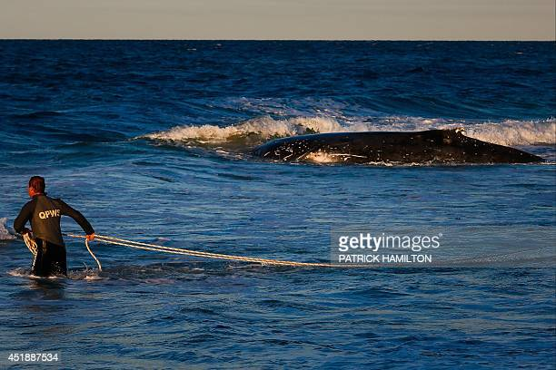 A Queensland parks and wildlife ranger swims with a towing harness to attach to a humpback whale beached at Palm Beach on Queensland's Gold Coast on...