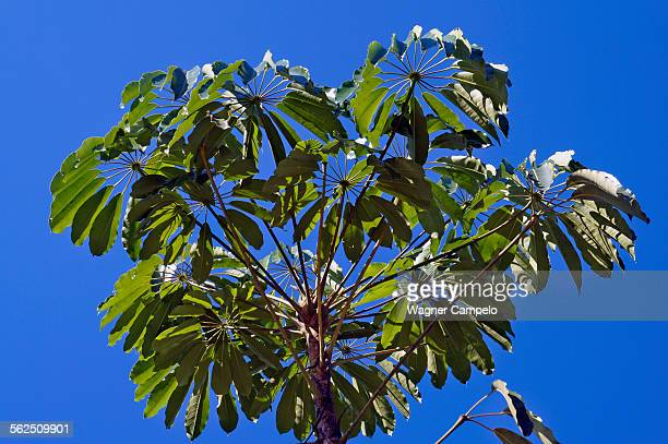 queensland umbrella tree, octopus tree - queensland umbrella tree stock pictures, royalty-free photos & images