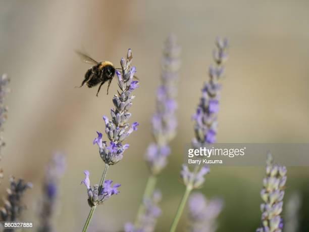 Queenstown flower and bee.
