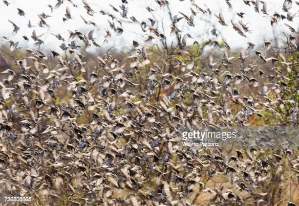 Quelea -0 Red-billed Quelea flock, Quelea quelea, Madikwe Game Reserve, South Africa.