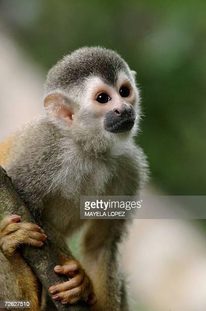 Fotografia de un mono titi tomada el 10 de abril de 2004 en el Parque Nacional Manuel Antonio en el litoral Pacifico unos 160 kilometros al sureste...