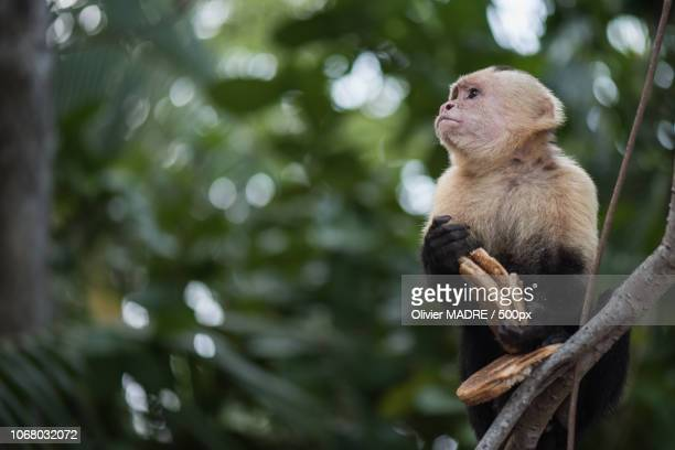 quepos, costa rica - capuchin monkey stock pictures, royalty-free photos & images