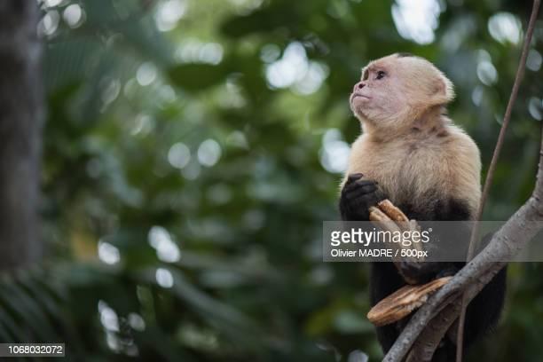 quepos, costa rica - mono capuchino fotografías e imágenes de stock
