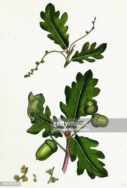 Quercus pedunculata Common Oak