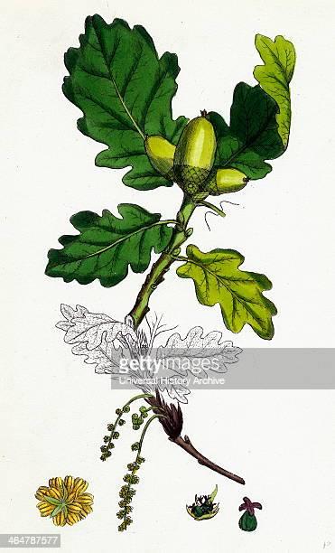 Quercus sessiliflora Sessilefruited Oak