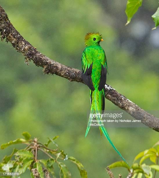 Quetzal in Tree