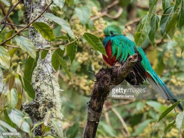 quetzal resplandeciente (pharomachrus mocinno) - resplandeciente stock pictures, royalty-free photos & images